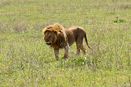 male lion walking in ngorongoro crater reservation